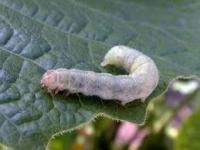 Як боротися зі шкідниками капусти народними засобами? Дієві поради