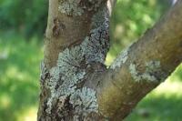 Як боротися з попелицею на плодових деревах