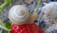 Як позбутися шкідників полуниці та суниці