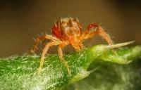 Як боротися з павутинним кліщем у домашніх умовах