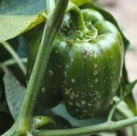 Як знищити шкідників перця та виростити гарний врожай