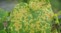 Шкідники огірків, що знищують рослину. Як боротися зі шкідниками огірків и виростити гарний врожай