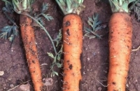 Які шкідники нападають на моркву? Методи боротьби