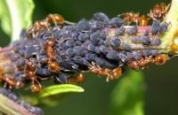 Як знищити мурашок в саду та городі