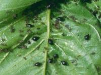 На листі вишні чорні личинки — причини і лікування