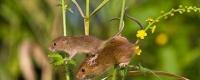 Як вигнати мишей з дачного дому народними засобами