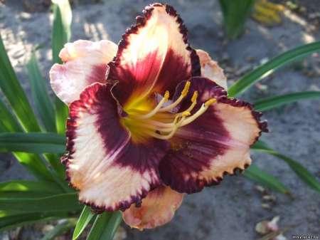 Лилейник – любимец цветоводов